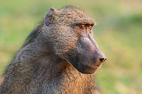 Portrait of an adult male Chacma Baboon, Chobe River, Kasane, Botswana.