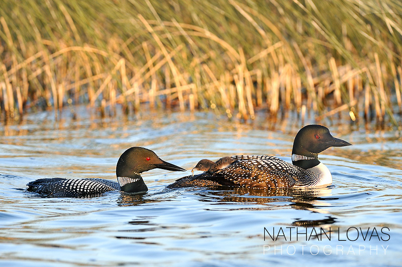 Common loons feeding riding chick;  Minnesota.