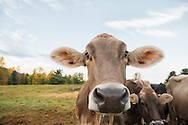 Close-up of Brown Swiss Standing looking at the camera with other cows behind