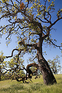 A gnarled oak tree twists and turns in all directions, Henry Coe State Park, California