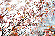 Cherry tree in Reykjavik, Iceland.
