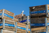 Kelp Gull perched on the top of fisheries crate, Lamberts Bay, Western Cape, South Africa