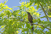 Also known as the Mexican grackle, the great-tailed grackle is a member of the new world blackbird family (Icteridae) and are very common from the American Great Plains, the American Southwest and all of Mexico south to also include all of Central America. This brown/black female was first noticed making an awful commotion with a number of other males and females in a tree in rural Van Horn, Texas.