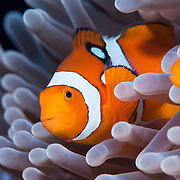 False clownfish or anemeone fish.