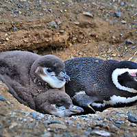Adult Penguin Guarding Chicks at Penguin Reserve on Magdalena Island, Chile<br /> Magellanic penguins typically mate for life and are excellent parents.  After a female reaches maturity at four years, she will lay two eggs per breeding season in a burrow. The couple takes two-week shifts guarding the clutch during the 39 to 42 day incubation period while the other forages for food. This pattern continues for thirty days after the chicks are born. When they are 40 to 70 days old, the fledglings head towards the open sea in mass where they are joined by other juveniles and some adults for the northward migration.