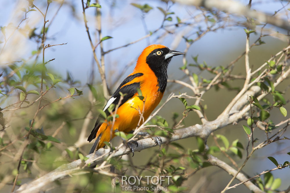 Orange-backed Troupial (Icterus croconotus), Pantanal, Brazil