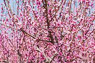 Blooming Trees, Wickham's Fruit Farm, Cutchogue, NY