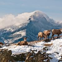 Rams rutting mountains