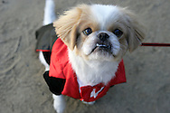 31st October 2009. Topanga, California. Much Love Animal Rescue's 6th Annual Bow Wow Ween! an annual Halloween event that helps find homes for stray animals and neglected pets. Pictured is Foo Fighter the pekingese dressed as Dracula. PHOTO © JOHN CHAPPLE / www.chapple.biz.john@chapple.biz  (001) 310 570 9100.