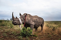 A white rhino bull stands partially sedated with his eyes covered and his ears blocked to reduce external stimuli at the start of a dehorning exercise.