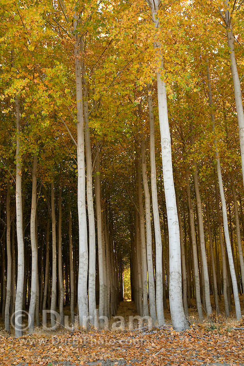 A hybrid poplar tree farm grown for pulp and fibre, primarily for paper production. The trees are planted in neat rows and ideally spaced for harvest. They grow quickly in cool climates and are usually mature enough for harvest after 8 years. In the United States, hybrid poplar is considered an agricultural crop. Washington.