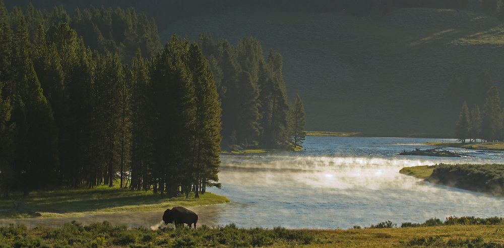 A bison bull takes a break from the August rut and enjoys some early morning solitude along the shore of the Yellowstone River.