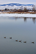 Canadian Geese drift along the Thompson River, Kamloops, British Columbia, Canada