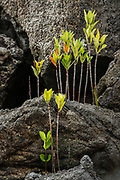 Red Mangrove (Rhizophora mangle) seedlings<br /> Tower Island<br /> GALAPAGOS,  Ecuador, South America