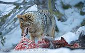 Coyote | Fox