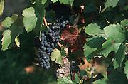 Deutschland, Germany,Baden-Wuerttemberg.Schwarzwald.Sasbachwalden, Reben mit Rotweintrauben.Sasbachwalden, grape vine...