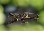 Hobby - Falco subbuteo