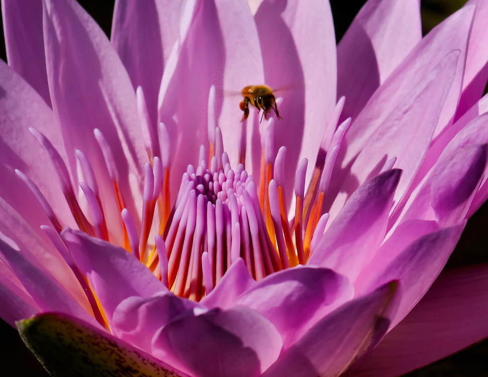 Bee in a beautiful pink water lily at the lily pond.