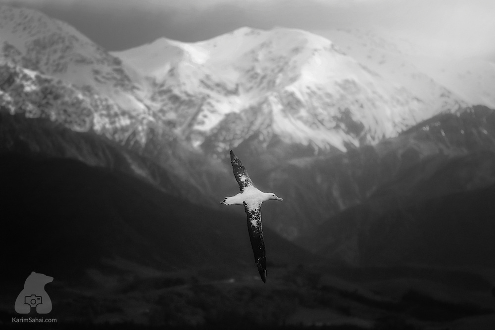 A southern royal albatross (Diomedea epomophora) spreads its wing in flight against the backdrop of the snow-capped Kaikoura Ranges, South Island, New Zealand. With a 3m wingspan, the southern royal albatross is the second largest bird in the world (largest is Wandering Albatross; Diomedea exulans). The majority of Albatrosses nest on the sub-antarctic Campbell Island, where around 8700 pairs of birds lay their eggs every two years.