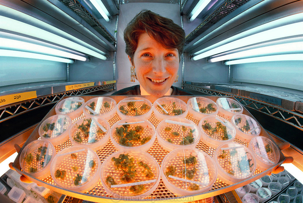 Genetically engineered tomato plants. Geneticist Dr Virginia Ursin examines cultures of Flavr Savr tomato plants; the first genetically engineered whole food. Each dish contains seedlings cultured from a single cell, grown on agarose medium. Flavr Savr tomatoes have a gene that allows the fruit to ripen on the vine without softening; so they are tastier, don't need ripening with ethylene gas, and are not damaged during shipping. Tomato softening occurs due to the enzyme polygalacturonase. Flavr Savr tomatoes contain an anti-sense gene that blocks the enzyme. This tomato entered American supermarkets in 1994 but was withdrawn from the marketplace by Monsanto (which bought Calgene in 1997). Research at Calgene, California, USA. MODEL RELEASED.[1995]
