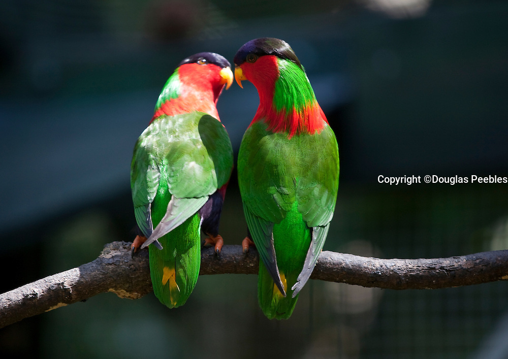 Collared Lory, Kula Bird, Phigysis solitarius, Kaka, Kula Eco Park, Vitu Levu, Fiji
