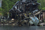 Kermode bear (Ursus americanus kermodei) forages for food at the abandoned salmon cannery known as Butedale on Princess Royal Island in British Columbia, Canada.