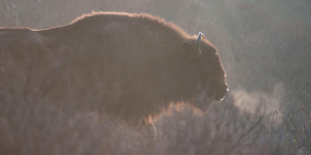 European Bison (Bison bonasus) showing breath cloud on a cold morning