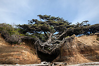 WA14561-00...WASHINGTON - Tree on a overhanging cliff wall along Kalaloch Beach in Olympic National Park.