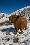Highland cow in Glen Nevis, Lochaber.