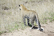Tanzania, Serengeti National Park, Leopard, Panthera pardus, cub Photographed in December