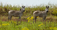 Two Zebras stand in the African plains