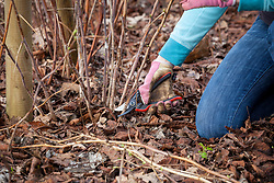 Prune autumn fruiting raspberries in winter. Cutting stems right back to the ground.