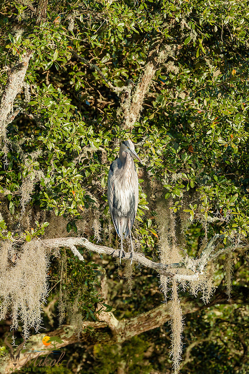Great Blue heron Perched in Live OAk