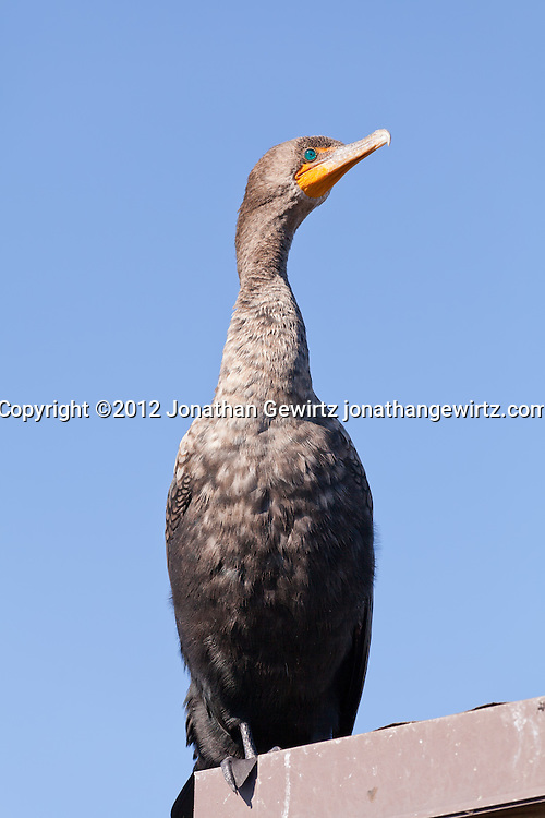A Double-crested Cormorant (Phalacrocorax auritus) perched on a roof near the Anhinga Trail in Everglades National Park, Florida. WATERMARKS WILL NOT APPEAR ON PRINTS OR LICENSED IMAGES.