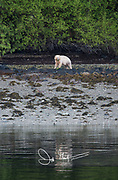 Kermode bear (Ursus americanus kermodei) on Princess Royal Island in British Columbia, Canada.