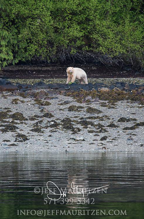 Kermode bear (Ursus americanus kermodei) on Princess Royal Island in British Columbia, Canada.