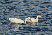 A couple of Coscoroba Swans in Lake Argentino near El Calafate, Patagonia.
