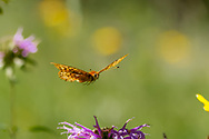 Fritillary butterfly flies over horsemint blossoms, mountain wildflower meadow, Jemez Mountains, NM. © 2010 David A. Ponton