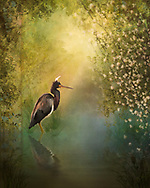 Painterly rendition of a tri-colored heron and his reflection hit by the warm rays of first light surrounded by green vegetation and blossoms