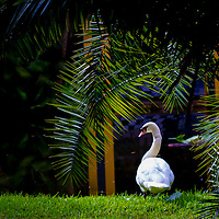 FT. LAUDERDALE, FL  -- A swan rests along the water at the Bonnet House in Ft. Lauderdale.  (PHOTO / CHIP LITHERLAND)