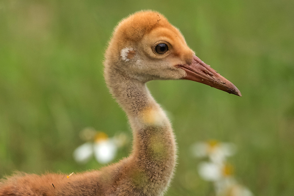 Dwarfed by surrounding daisies, a sandhill crane colt trails behind his parents as they forage for seeds and bugs.