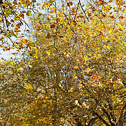 Autumn in Ireland, 2012: the warm Autumn Sun shines on the brown and green leaves turning on the ever bare branches against a distant backdrop of brown trees