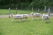 Sheep 2020