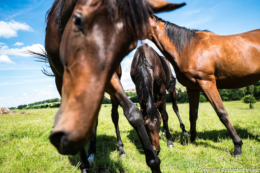 The Wells Stud, Bedrule, Hawick, Scottish Borders, UK. 19th July 2016. Horses graze under blue skies at the Wells Stud near Hawick in the Scottish Borders. By grazing close to each other they are able to keep the flies away through teamwork.