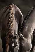THE MIWOK TRIBE CALLS THE GROUND PLACE 'SONOMA'.  THIS MOMENT IS SERENE, CALM, AND PEACEFUL. WITH WILD HORSES YOU NEVER KNOW ONE MINUTE TO THE NEXT – WILL THEY FIGHT, KICK, BITE, RUN? AND TO EMBRACE THIS MOMENT WHERE TWO STALLIONS CAN BE NEXT TO EACH OTHER SO QUIETLY IN FRIENDSHIP AND GRAZE WAS CAPTIVATING TO ME.