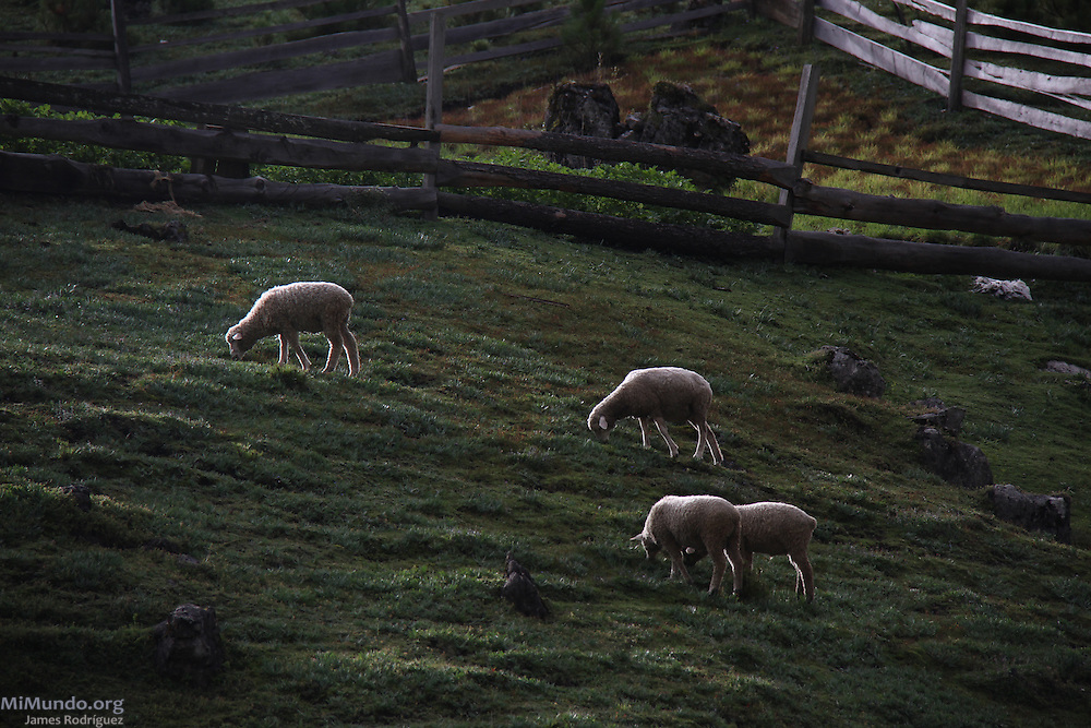 Sheep near the Laguna Magdalena in the Cuchumatanes Sierra, the highest and most extensive non-volcanic mountain range in Central America with elevations ranging from 500 meters to over 3,800 meters above sea level. Numerous biomes, or ecosystems, found in the Cuchumatanes are unique within Central America. Chiantla, Huehuetenango, Guatemala. August 4, 2013.