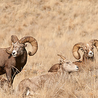 two trophy bighorn sheep in grass wild rocky mountain big horn sheep