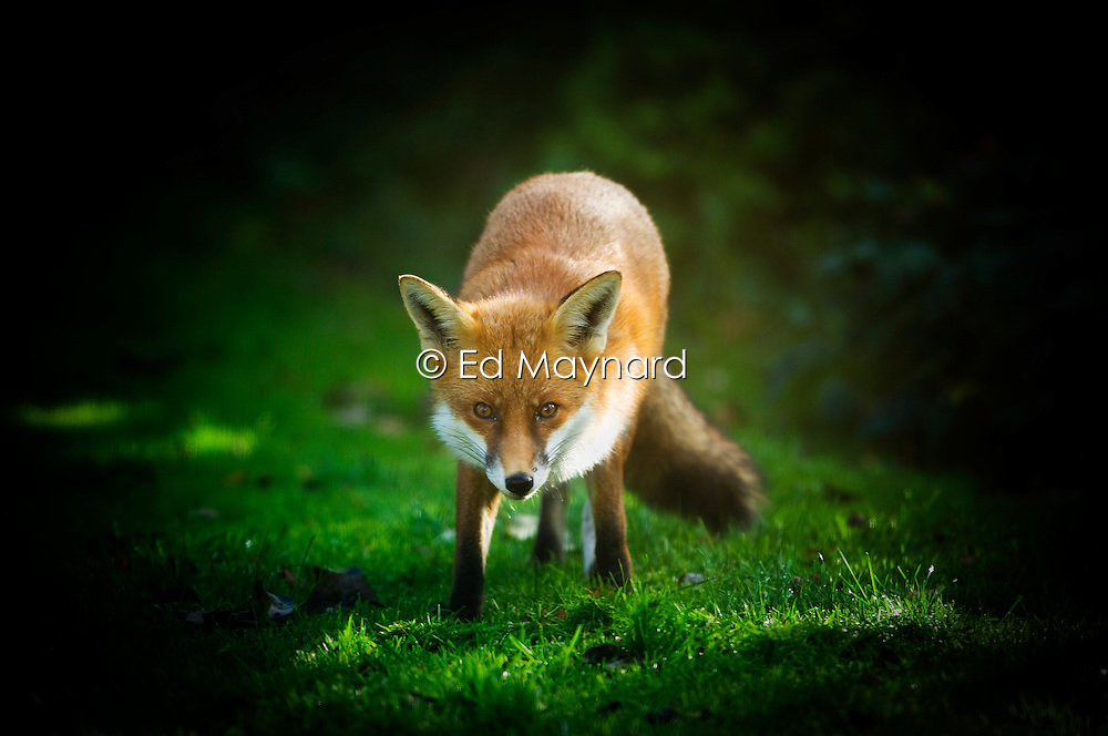Red fox in a suburban garden, Leicester, England, UK.