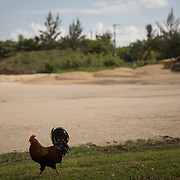 MAY 29, 2015---GRAND CAYMAN, CAYMAN ISLANDS----<br /> A rooster walks near where field preparation work in part of the lot where the CIFA (Cayman Islands Football Association) has been expected to build facilities since 2009. This project started about one month ago. The former President of the CIFA, Jeffrey Webb, was arrested in Zurich for alleged corruption. Webb was President of CIFA and CONCACAF and is Vice PResident of FIFA. <br /> (Photo by Angel Valentin/Freelance)