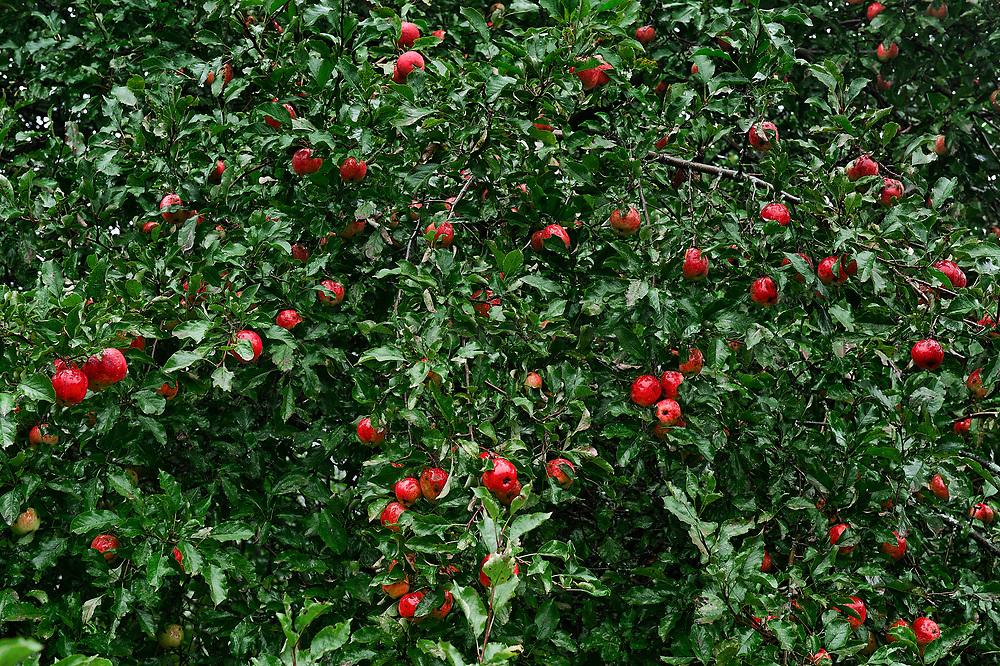Ripe apples on tree.